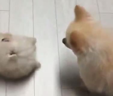 """【まんまる】猫とじゃれ合う """"子ポメラニアン"""" が可愛すぎる。コロッコロじゃないか!"""