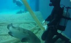 """【水族館】ダイバーに近づき撫でを要求する """"クエ"""" が可愛すぎる。魚って懐くのかい!"""