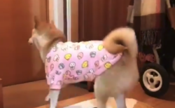 【癒やし】飼い主の帰宅が嬉しくてたまらない柴犬くんが可愛すぎる。大興奮!