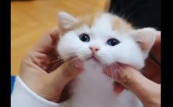 """【もちもち】ほっぺた """"むにむに"""" からのおもちゃ遊び。猫の可愛さは世界を救う!"""