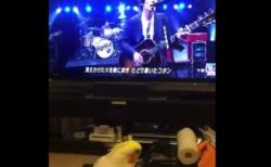 【歌】うちのオカメインコ、スピッツが大好きだったことが判明。可愛すぎる〜!