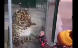 【ていていてい】ガラス越しに遊ぶ「ヒョウと子供」が可愛すぎる。やっぱり猫ですわ!
