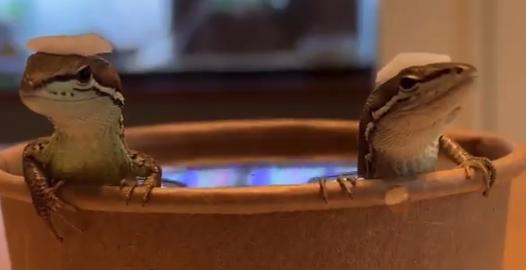 """【癒やし】日本人(カナヘビ)はやっぱり """"お風呂"""" が好き。間違いない!"""