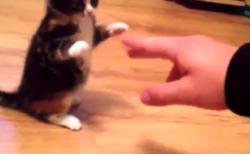 """【子猫】史上最弱の """"猫パンチ"""" をご覧ください。もはや可愛さしか無い!"""