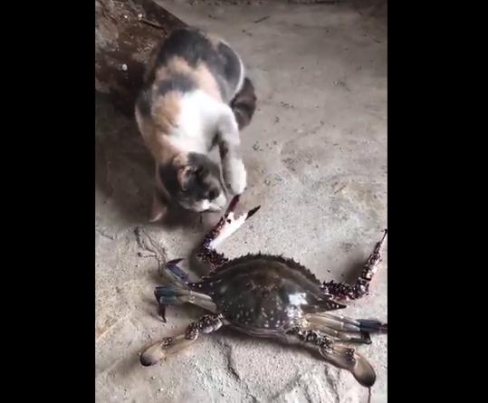 """【ジャンケン】カニと遊んでいた猫ちゃんの """"末路"""" がとんでもない・・・"""