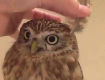 """【朗報】フクロウに """"耳"""" をつけると!?→ ただただ可愛いと話題に。"""