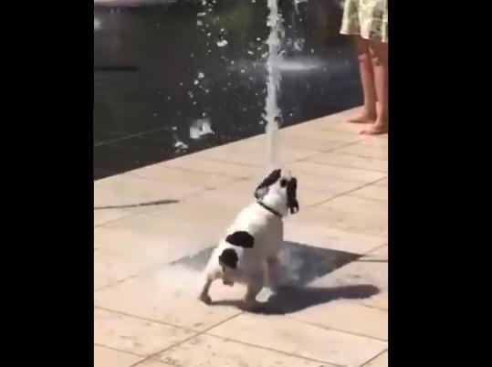 """【癒やし】地面から """"噴射する水"""" にテンション上がりまくりのブルドッグ君!"""