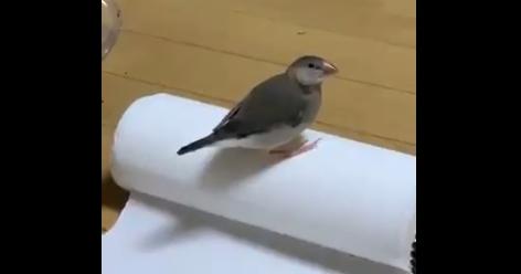 【クルクル】文鳥がキッチンペーパーの上に乗って大道芸を披露!!