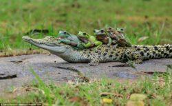 【ワニバス】ワニの上に乗ってしまったカエル一家、どこへ行こうとしてるのかな?