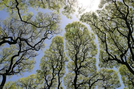 【自然の神秘】木々が互いに接触しない現象「クラウンシャイネス」が美しい