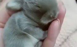 【動画】手のひらサイズの子ウサギが最強すぎる!