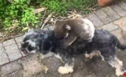 【動画】犬を母親と勘違いし離れない赤ちゃんコアラと困惑する犬が可愛すぎる