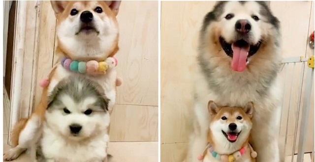 【犬・犬】仲良し2匹、1年で立場逆転してしまう。どっちも可愛すぎっ