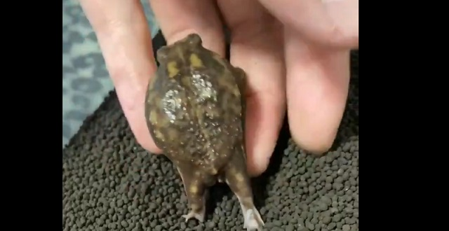 【!】ぜったい土に戻りたくない短足カエル、何がなんでも指にしがみつく!可愛すぎっ