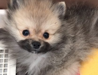 タヌキみたいな子犬 ポメラニアンが生田 輝さんのうちに登場♡かわいすぎる!!!!!