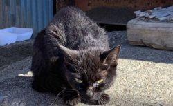 【泣いた】突然現れた野生感満載の黒猫・・ごはんあげて可愛がったらこんなに変わった