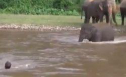 「ひとが溺れてる!」象の子供、慌てて助けに行く