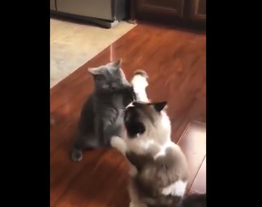 """【癒やし】もふもふ猫同士の """"戯れ合い"""" を見てたらなんか色々どうでもよくなったわ!"""