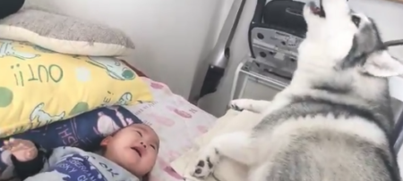 """【ウォーン】赤ちゃんに """"ギャン泣き"""" されたときのハスキー犬の対応が最高すぎる!"""