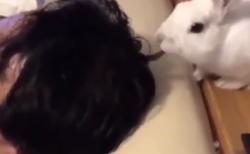 """【ウサギ】飼い主の """"髪の毛"""" をムシャムシャ。餌と間違えたのかな?"""