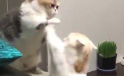 【緊迫】猫ちゃん同士の「喧嘩」が勃発!?・・これなら許すわ!