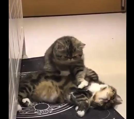 """【キュート】猫界の """"マッサージ屋さん"""" が可愛すぎる。手付きが慣れてやがる!"""