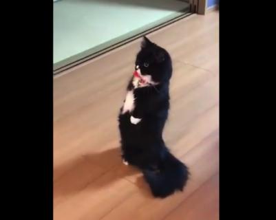 【黒猫】うちの猫がもはや完全に「直立」している件。お前人間だろ!