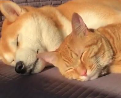 【添い寝】二人仲良くお昼寝をするワンコと猫ちゃんが完全に癒やし。平和とはこのことか・・・