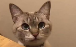 【癒やし】ハイタッチ後に「にゃー」をキめる猫ちゃん。あざといぞ!