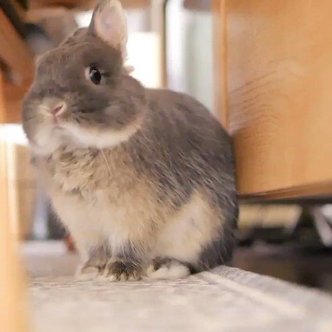 【まるで百獣の王!】もふもふウサギのあくびをご覧ください