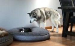 【癒やし】寝床に行ったら子ねこが寝てる・・ハスキーの優しさがたまらなく可愛い