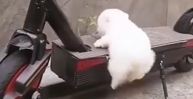 【もふかわ15秒】よじ登ろうとがんばってる子犬、あし・おしり・尻尾がかわいすぎる