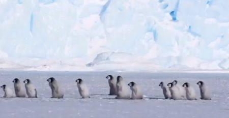 【遠足かな?!】ちっこいペンギンが並んでぺちぺち歩いてく様子が激かわ♡最後に貫録のおっさん登場!これは癒される~