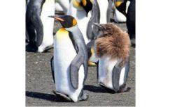【初めて見た】もっふもふの赤ちゃんペンギンが もふもふ脱いで大人ペンギンになっていく様子、かわいい♡
