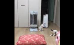"""【ビビり】猫のために「大きいクッション」を導入したら """"警戒"""" されて大変なことに!"""