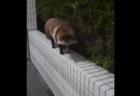【狸】東京23区に出没「シティたぬき」が話題に。こんなところに出るのか!