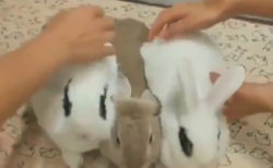 【癒やし】まるで磁石のようにくっつくウサギたちが可愛すぎる。暖かそう!