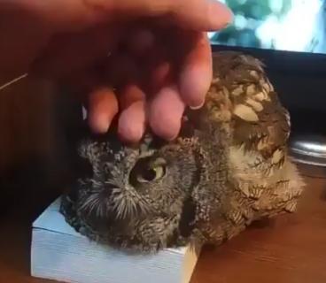 【赤ちゃん】めちゃくちゃ甘えん坊なフクロウが見つかる。撫でられて幸せそう!