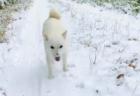 【クリスマス】ペンギンサンタの「お散歩」が可愛すぎる。歩き方も最高だな!