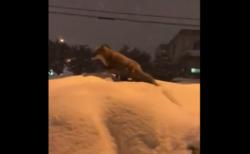 【野生】雪の中くつろぐキツネが可愛すぎる。なんて上品なんだ!