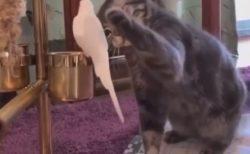 【モチモチ】毛並みが最高なインコの虜になってしまう猫ちゃん。優しくナデナデ!