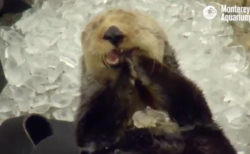 【癒やし】間違えて「氷」を食べてしまったラッコの表情がやばい!