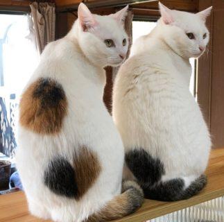 【必見!】段ボール「捨て猫」が美しい猫姉妹に育った姿にネット民感激