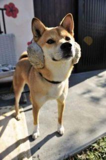 """【耳あて】ドヤ顔でどこか得意げな柴犬くん。そこ""""耳"""" じゃないよ!!"""