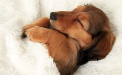 犬が飼い主のベッドの上で寝るのは何故? その理由が明らかに