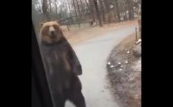 【必見!】二足歩行を完璧に習得した熊さん、シュールすぎる!