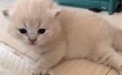 【動画】「ニャーニャー」よちよち歩きの子猫ちゃんが最高に可愛い!