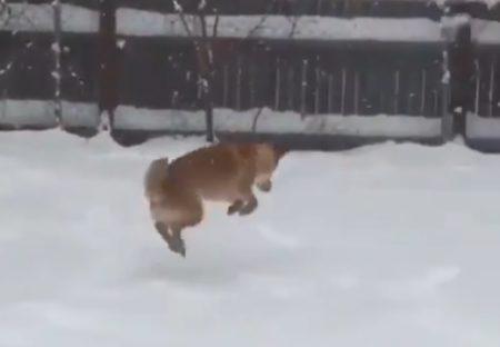 【雪♪】大喜びで庭を駆けまわってる柴犬がものすごくかわいいっ!!