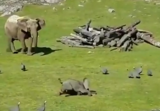 【ほっこり】鳥を追いかけまわしてた小象、ズテッと転んでママに駆け寄る