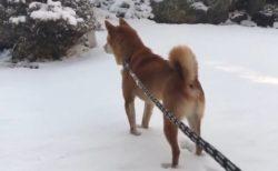 【ブルブルブルブル】雪を全く喜んでない柴犬がかわいすぎる!